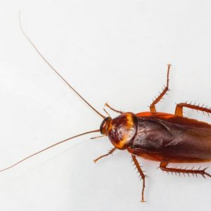JAPCO Cockroaches Control