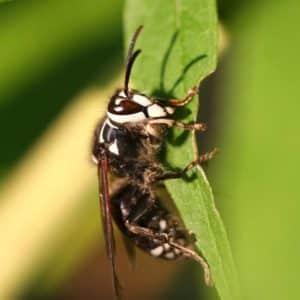 JAPCO Wasps Control