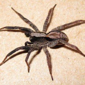JAPCO Spiders Control