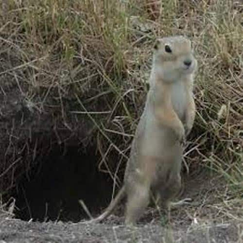 The Richardson Ground Squirrel
