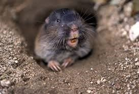Northern pocket gopher.