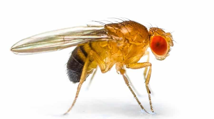 The Fruit Fly image