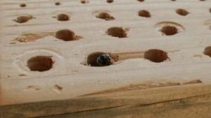 A carpenter bees nest