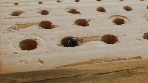 A carpenter bees nest