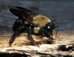 A carpenter bee close up