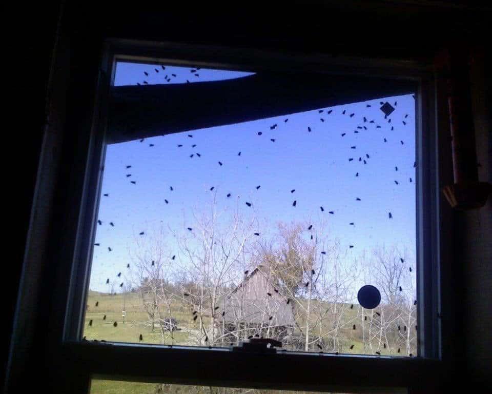 Flies on windows