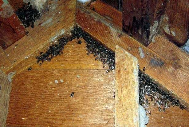 Flies in the attic during winter