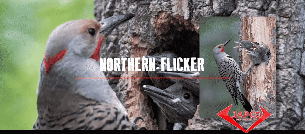 northern flicker woopeckers calgary