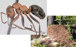 japco mound thatching ants