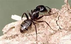 japco carpenter ants