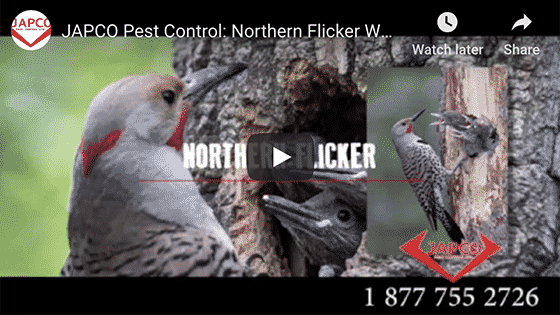 Japco Pest Control Northern Flicker